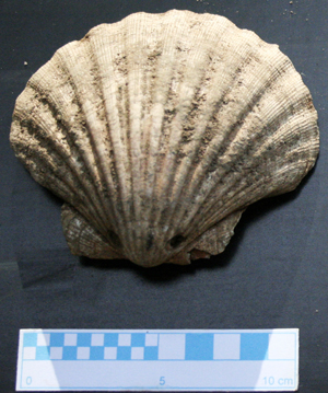 The shell of pectens type from a medieval burial, reference to the pilgrimage to Santiago de Compostela.